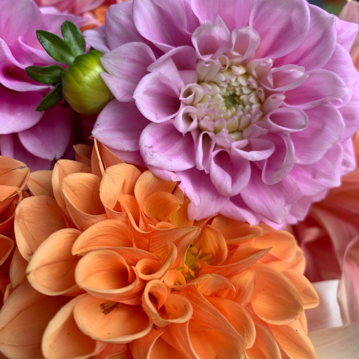 orange and pick dahlias