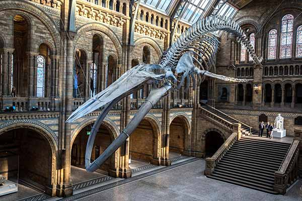 The blue whale skeleton in the entrance hall of the Natural History Museum, London