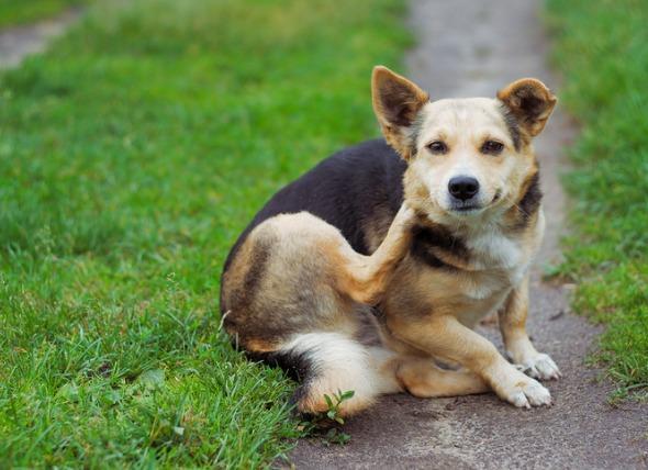 Common Dog Parasites