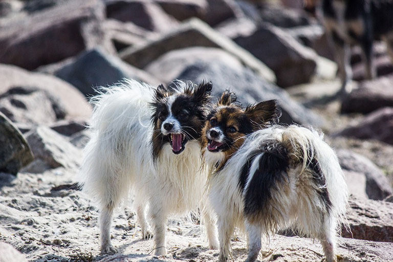 dog-breed-introduction-papillon-2