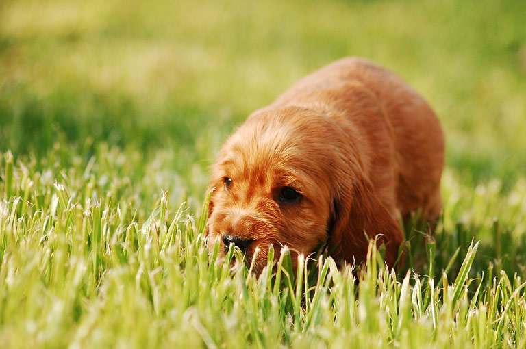 dog-always-eating-grass-3