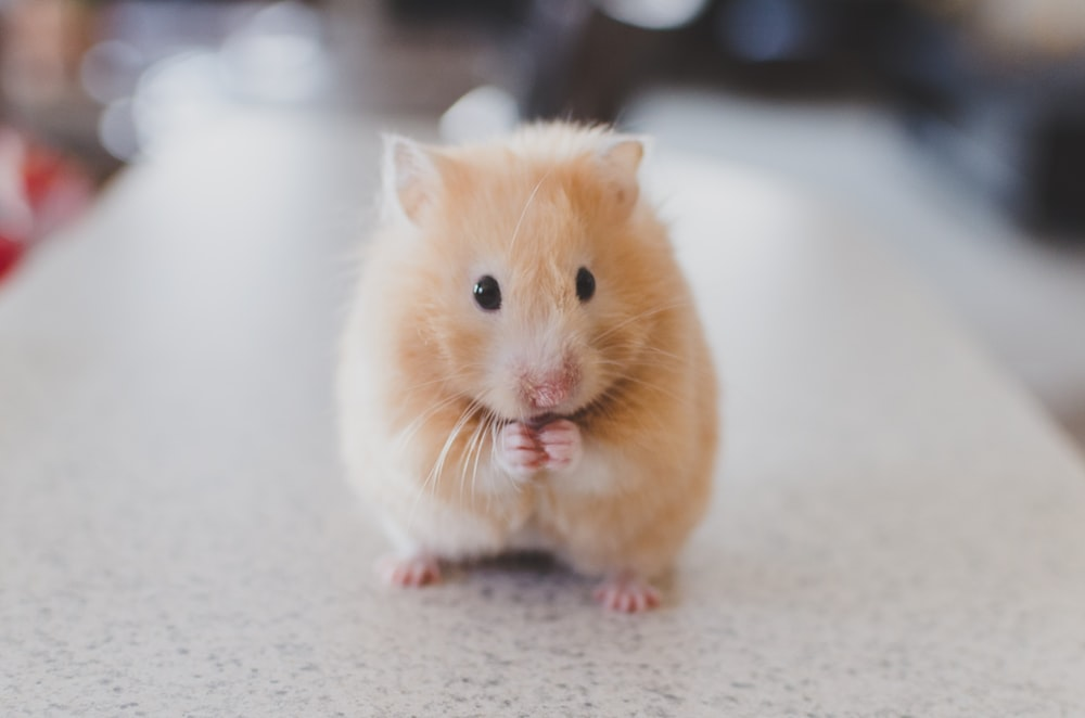 selective focus photography of brown hamster