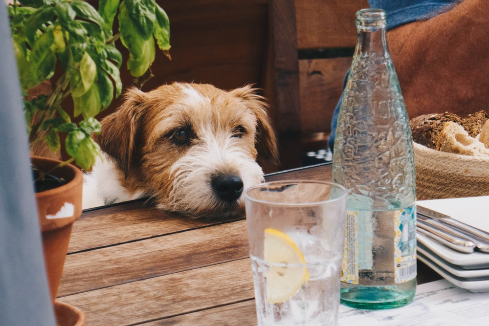Yorkshire Terrier beside the table