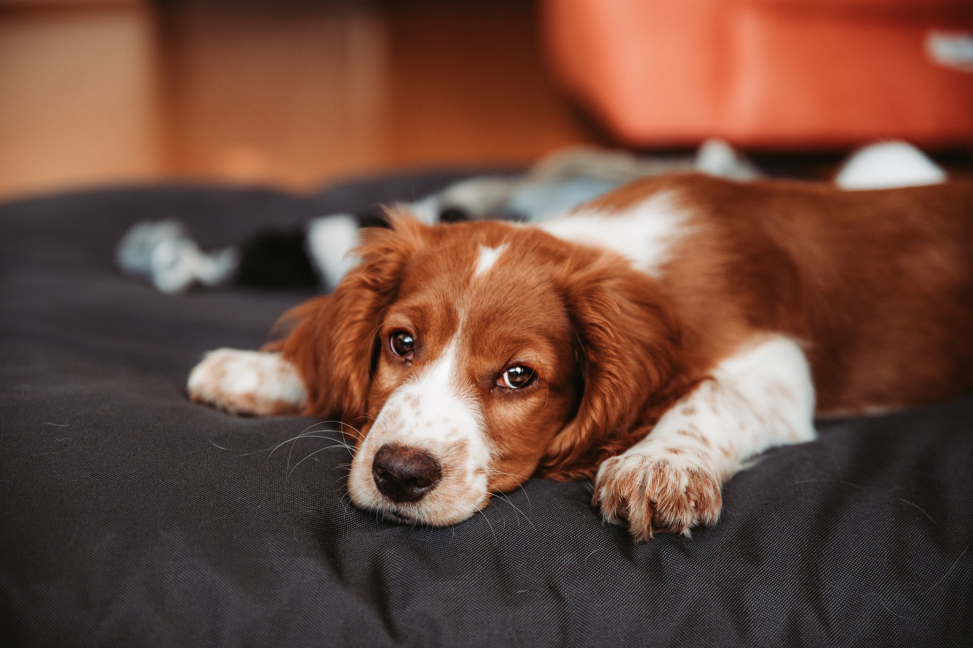 Try These Strategies for How to Cheer Up a Sad Dog | Pet Parents®