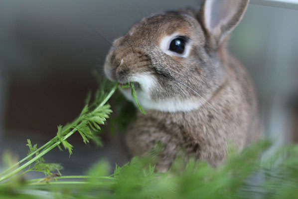 What to Feed Your Pet Rabbit | Rabbit Diet