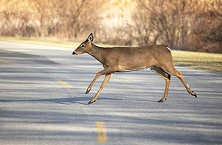car collision with deer