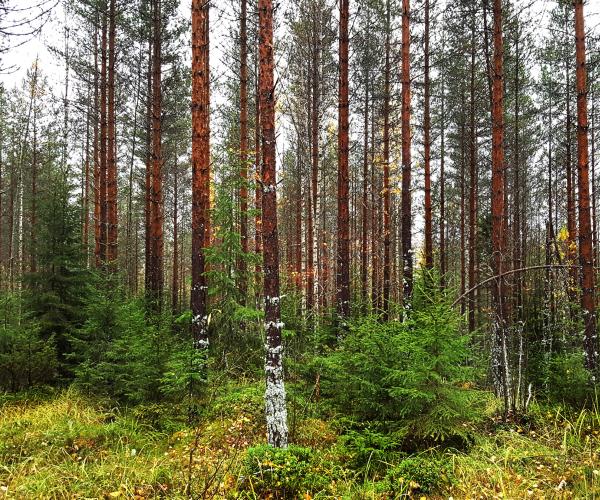 Rautavaara Forest, Savo Karjala Region, Finland