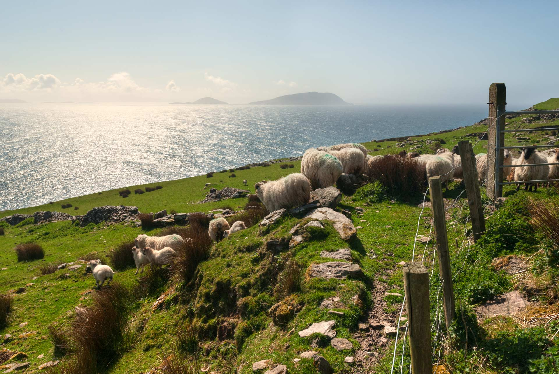 Sheep grazing the grass off Slea Head in Dingle, Ireland