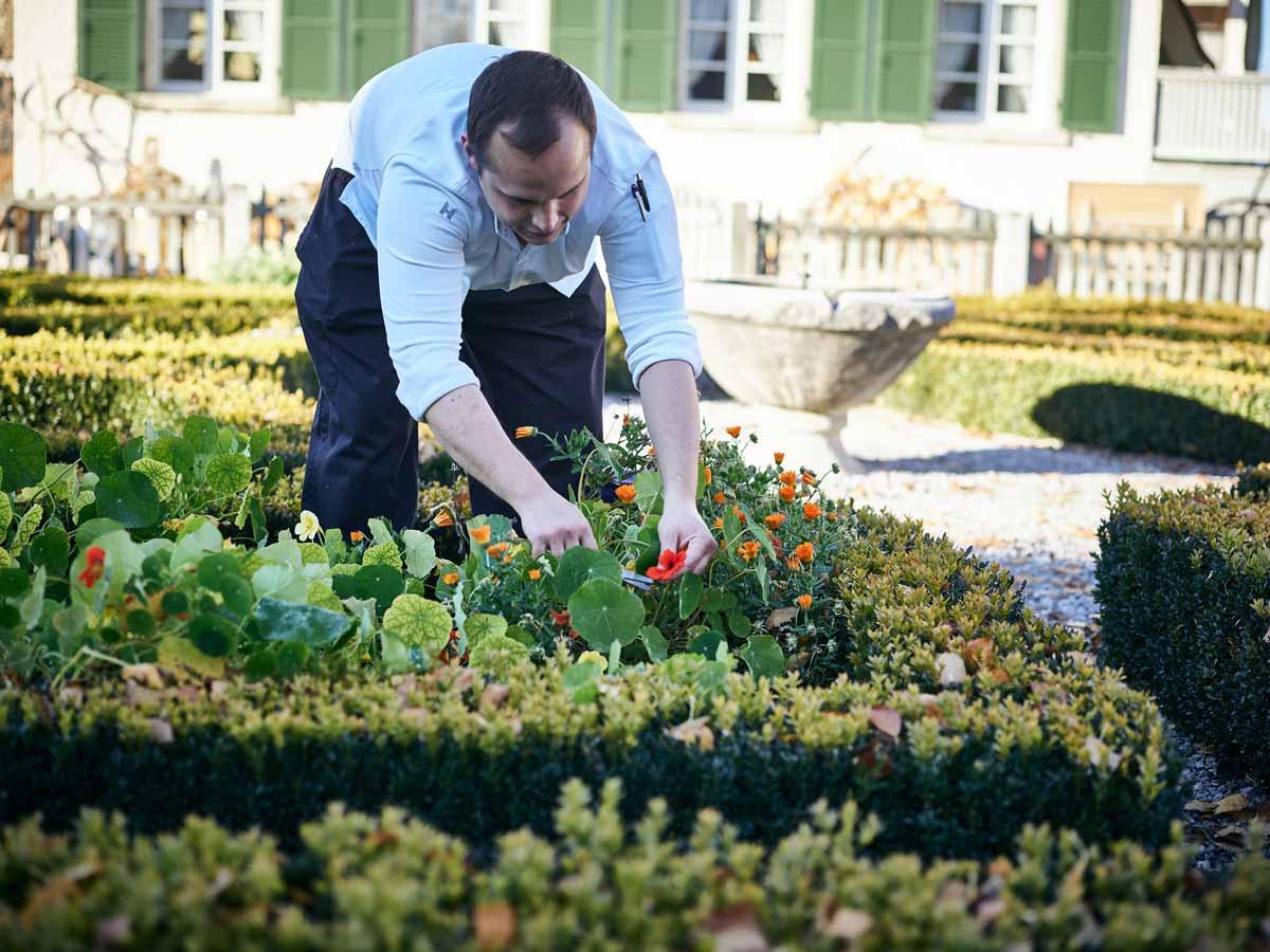 Küchenchef pflegt den Kräutergarten
