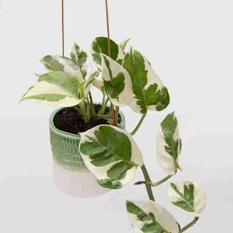 vaso suspenso da planta jiboia rainha da neve
