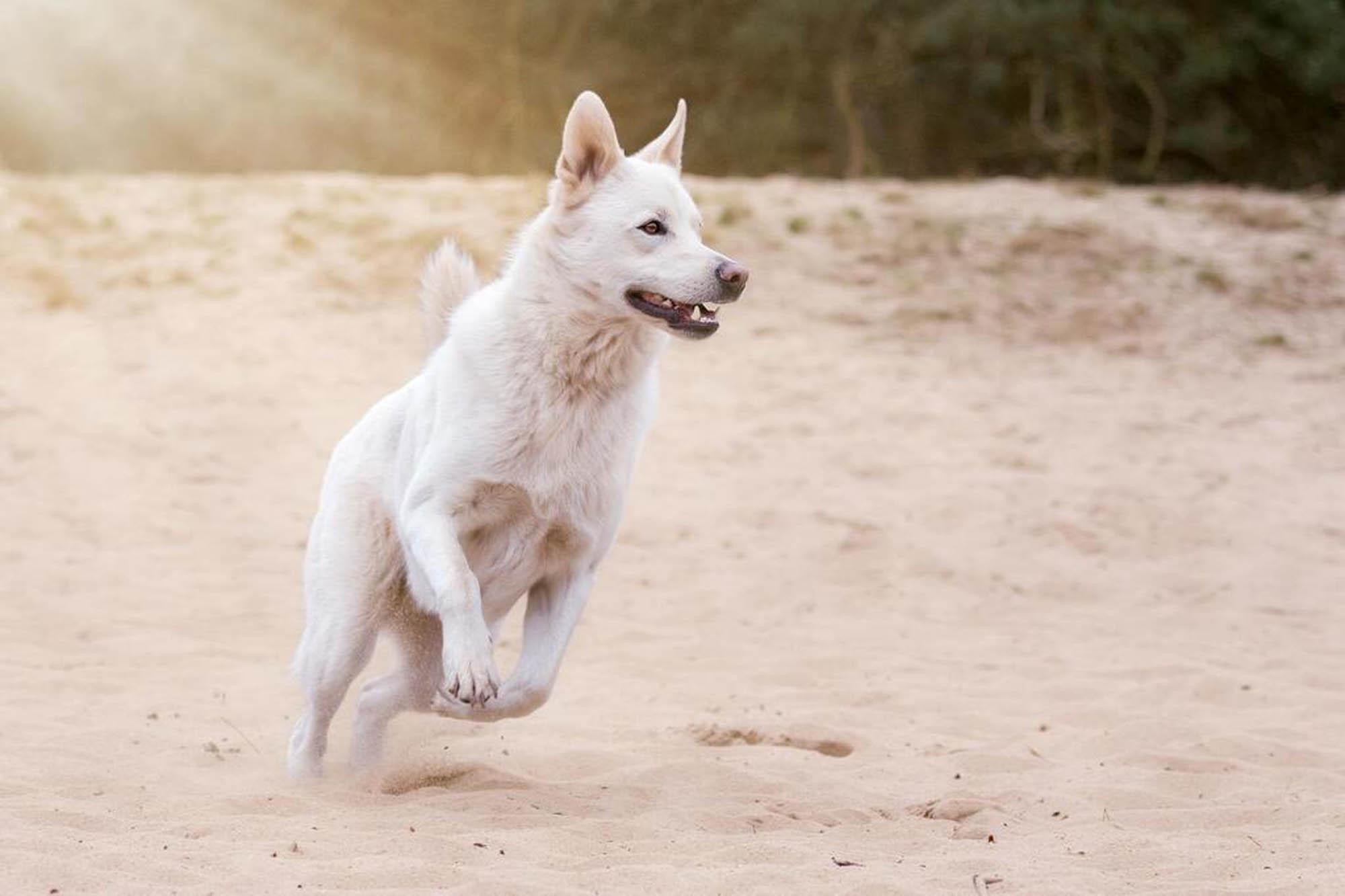 Glad vit hund hoppar i sanden