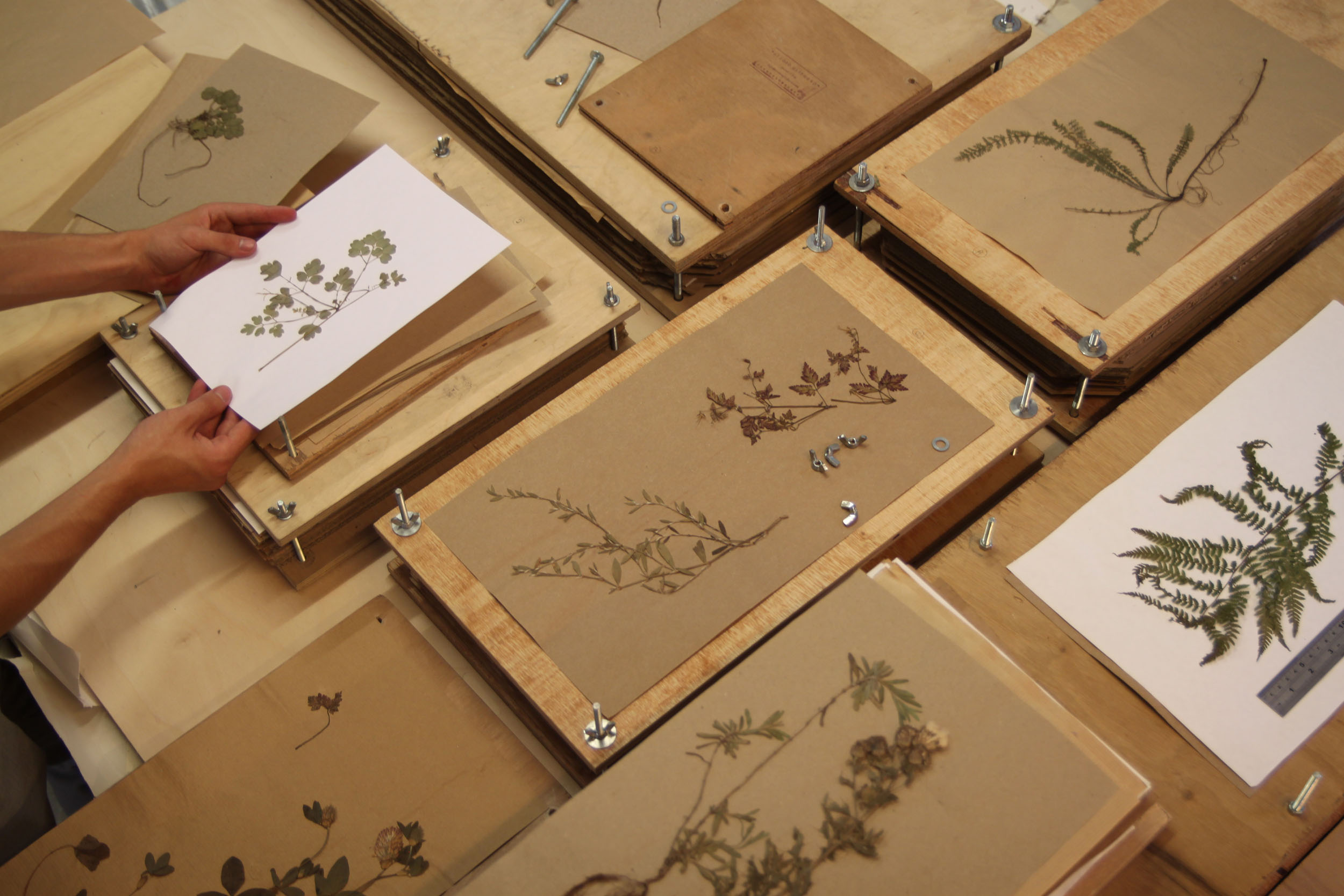 An overview of open flower presses showing different foraged specimen
