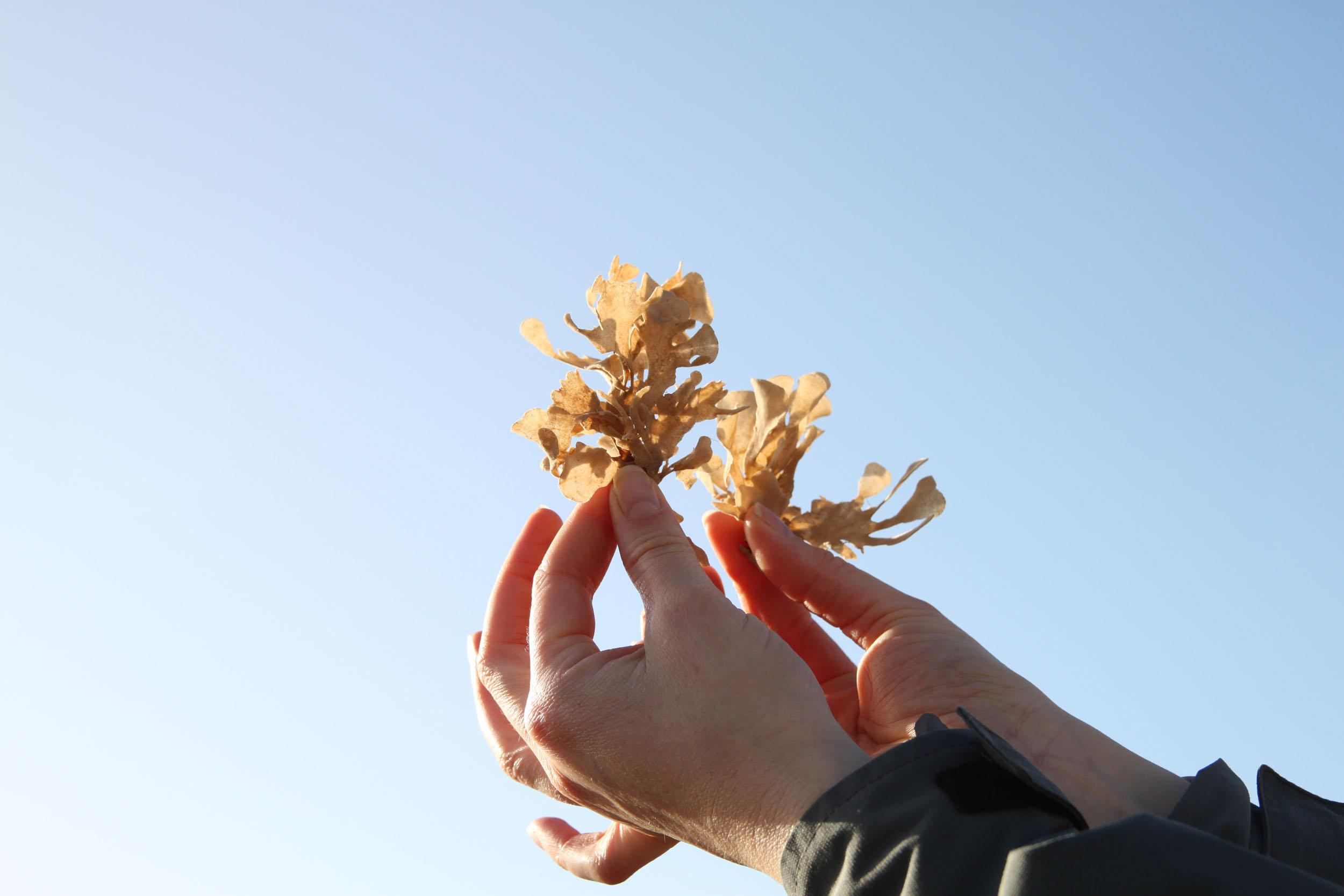 A foraged seaweed specimen
