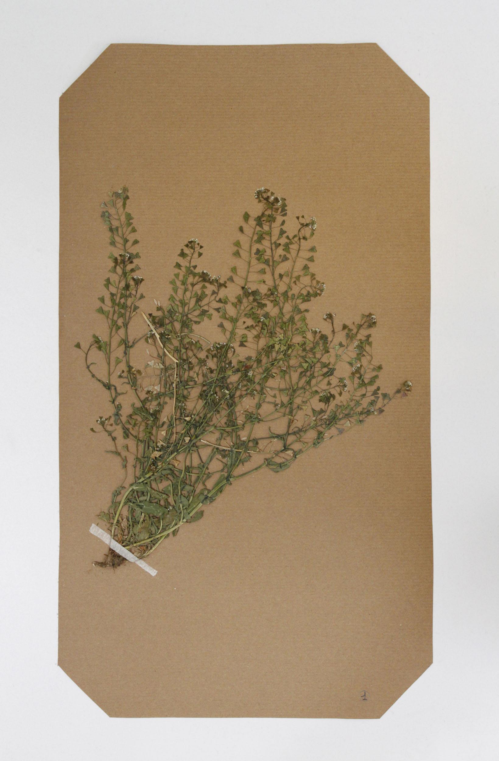 A pressed weed on herbarium paper