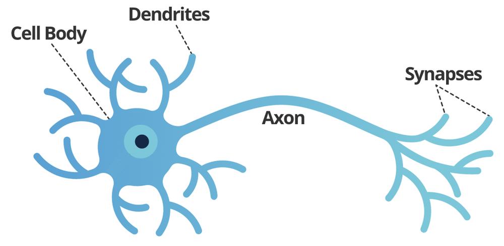 Neuron Structure    Courtesy of  Smartsheet