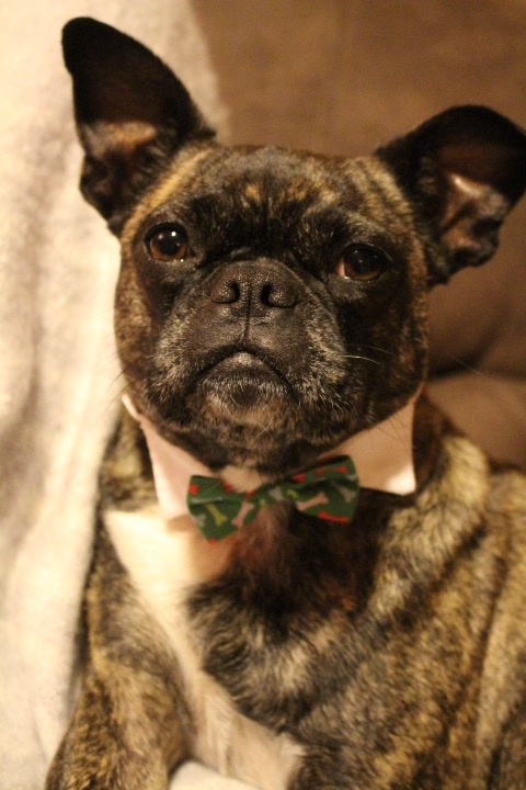 Lilly Dog All Dressed Up For Christmas