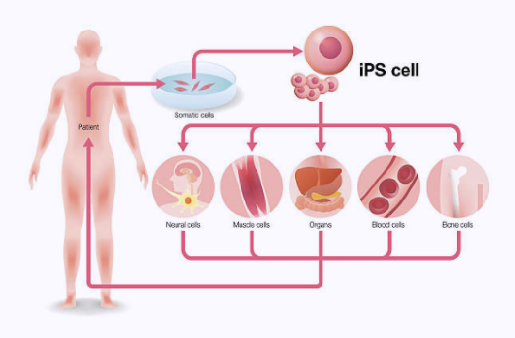 iPSC cells differentiating into human neural, muscle, blood, bone cells