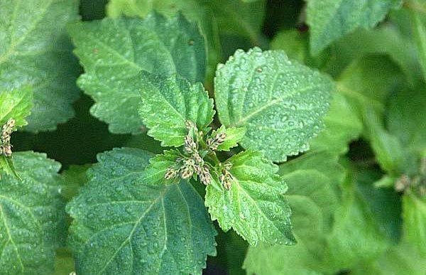 hojas de pachuli