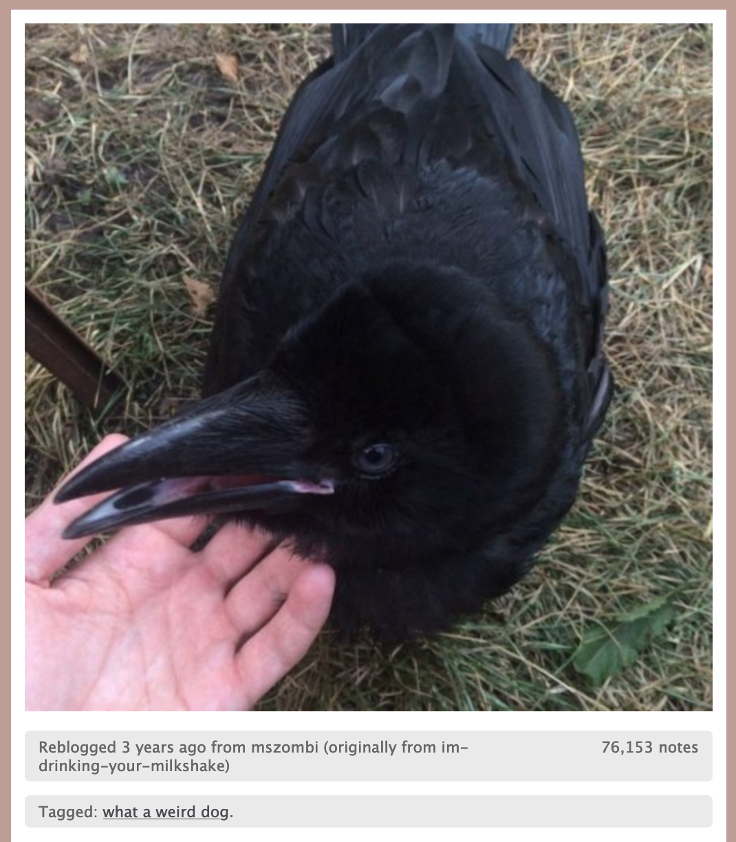 A picture of someone petting a crow, captioned 'what a weird dog'.ie