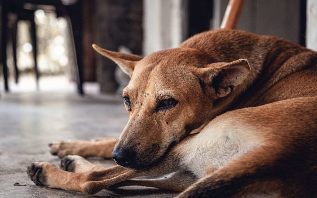 What to Do If You Have Fleas in Your House?