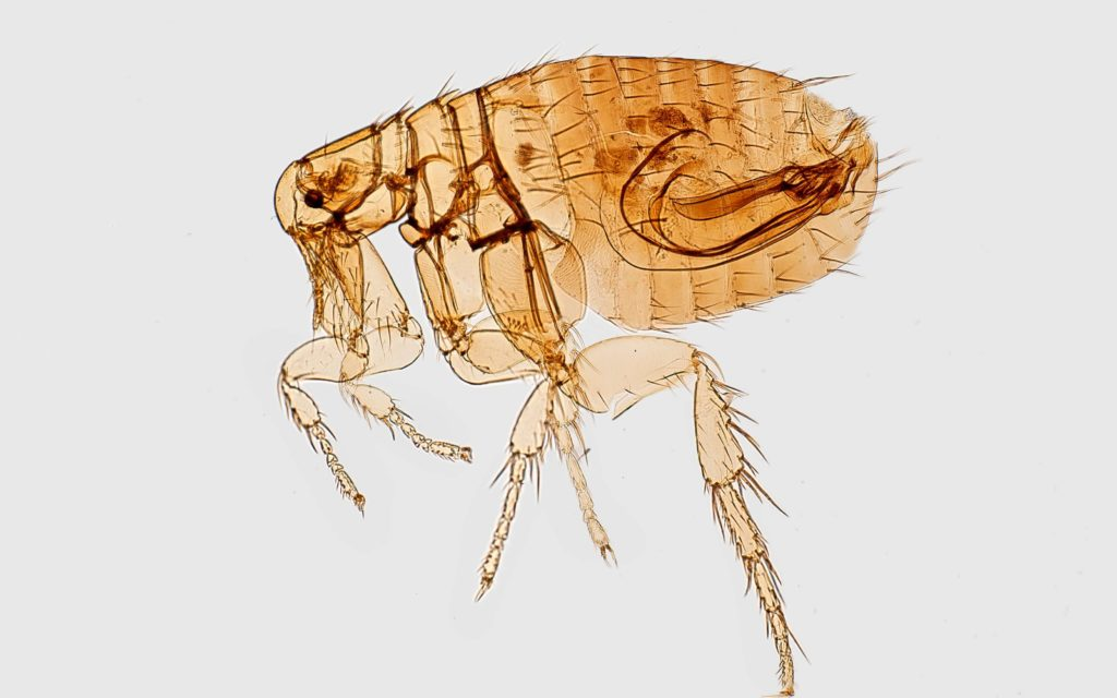 How Do You Get Fleas In Your House