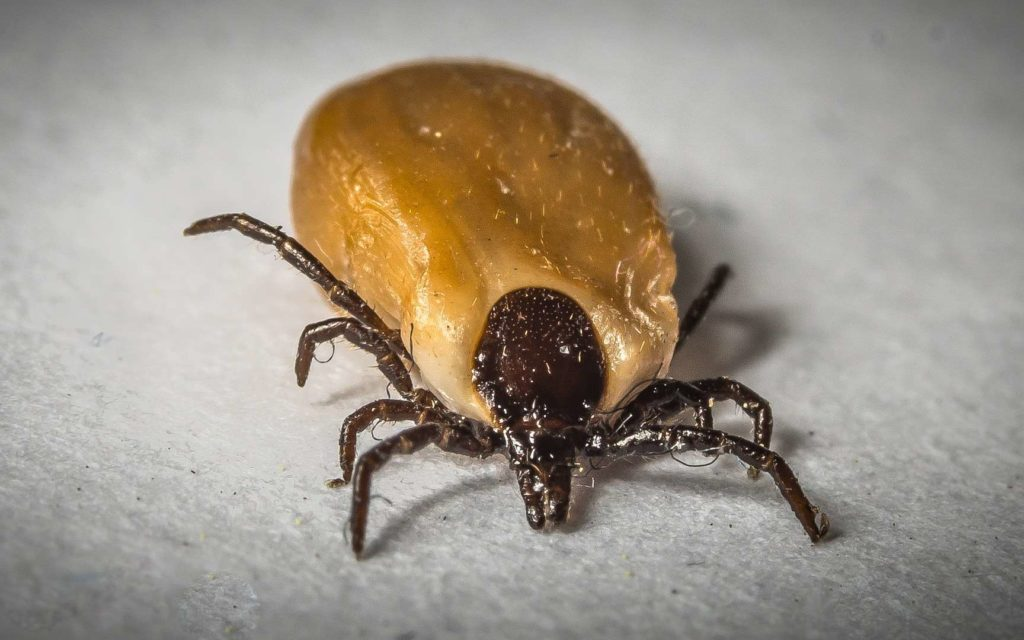 Which is Worse fleas or ticks?