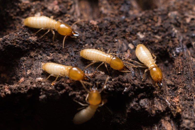 How Do You Exterminate Termites?