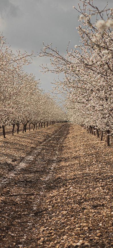 a farm of almonds