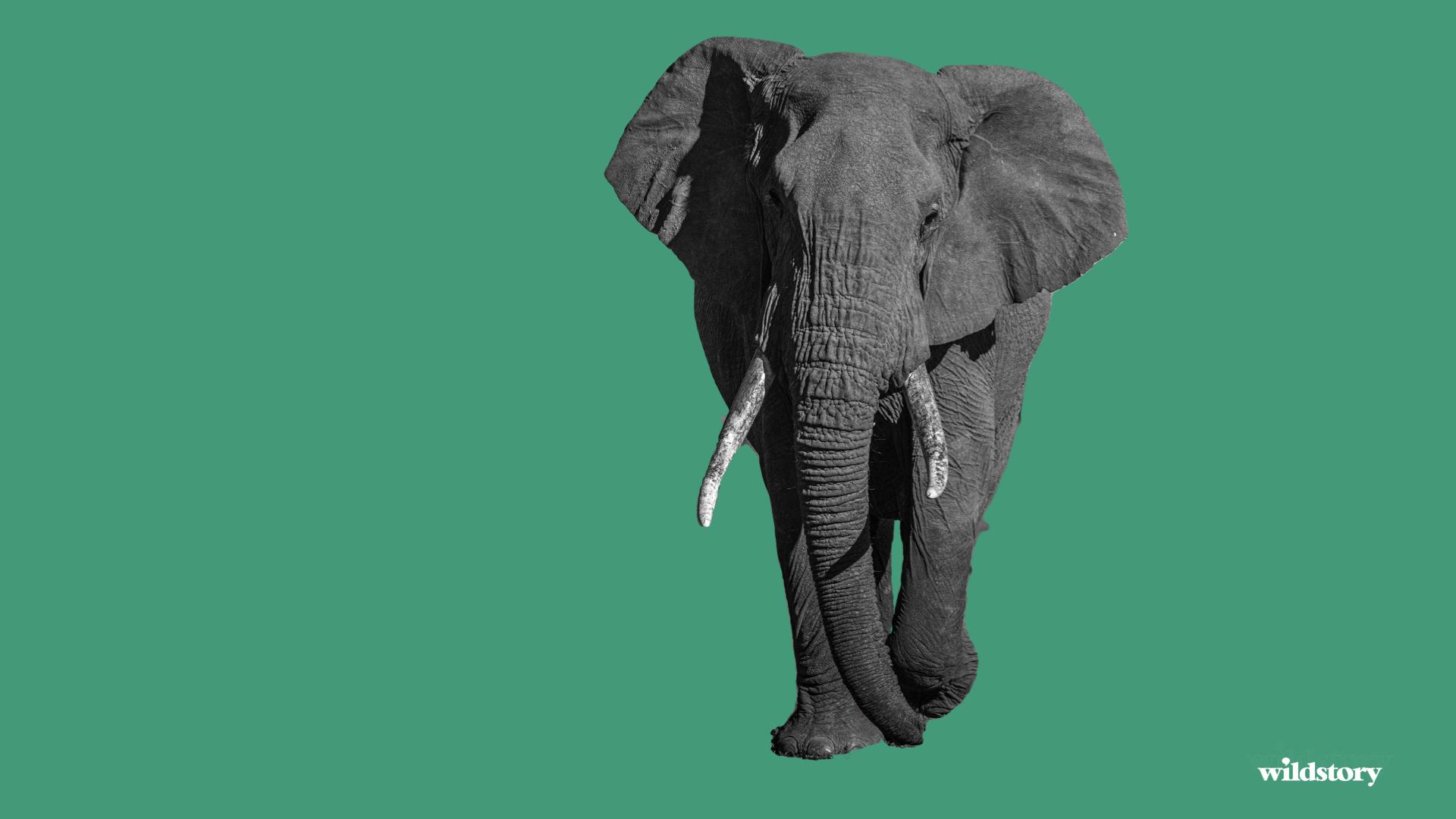 The elepant.