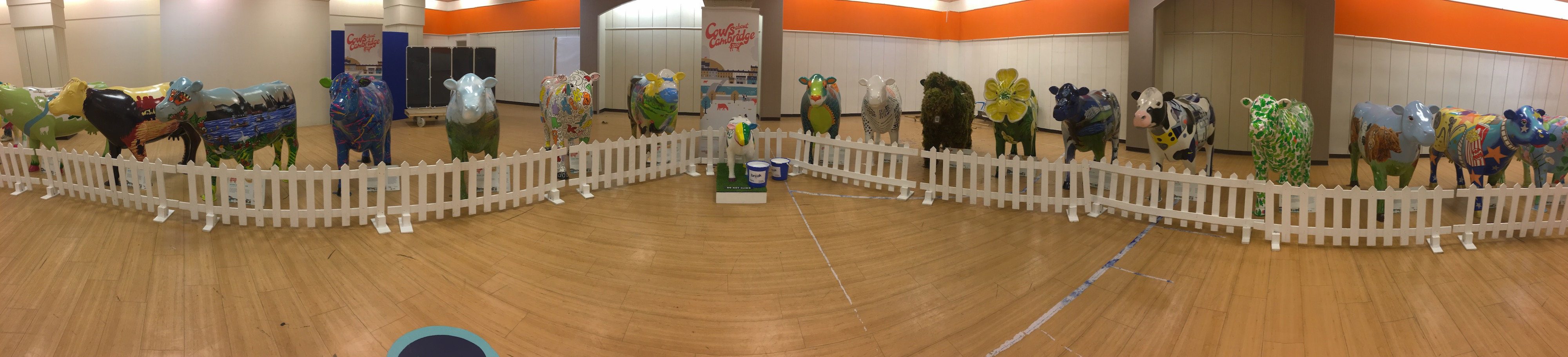Panoramic view of 18 cows on display in the Grafton Centre