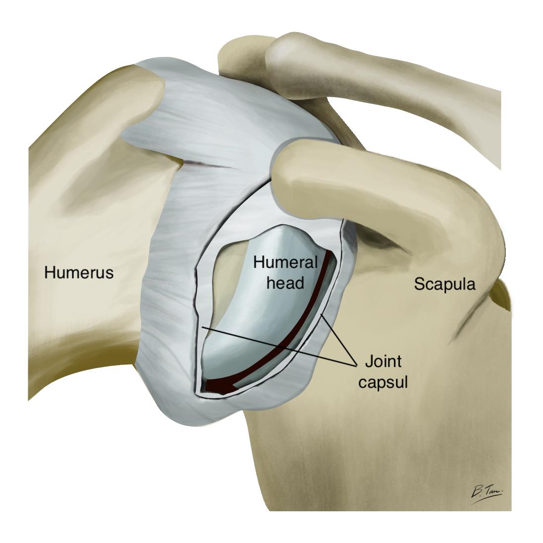 Normal shoulder capsule