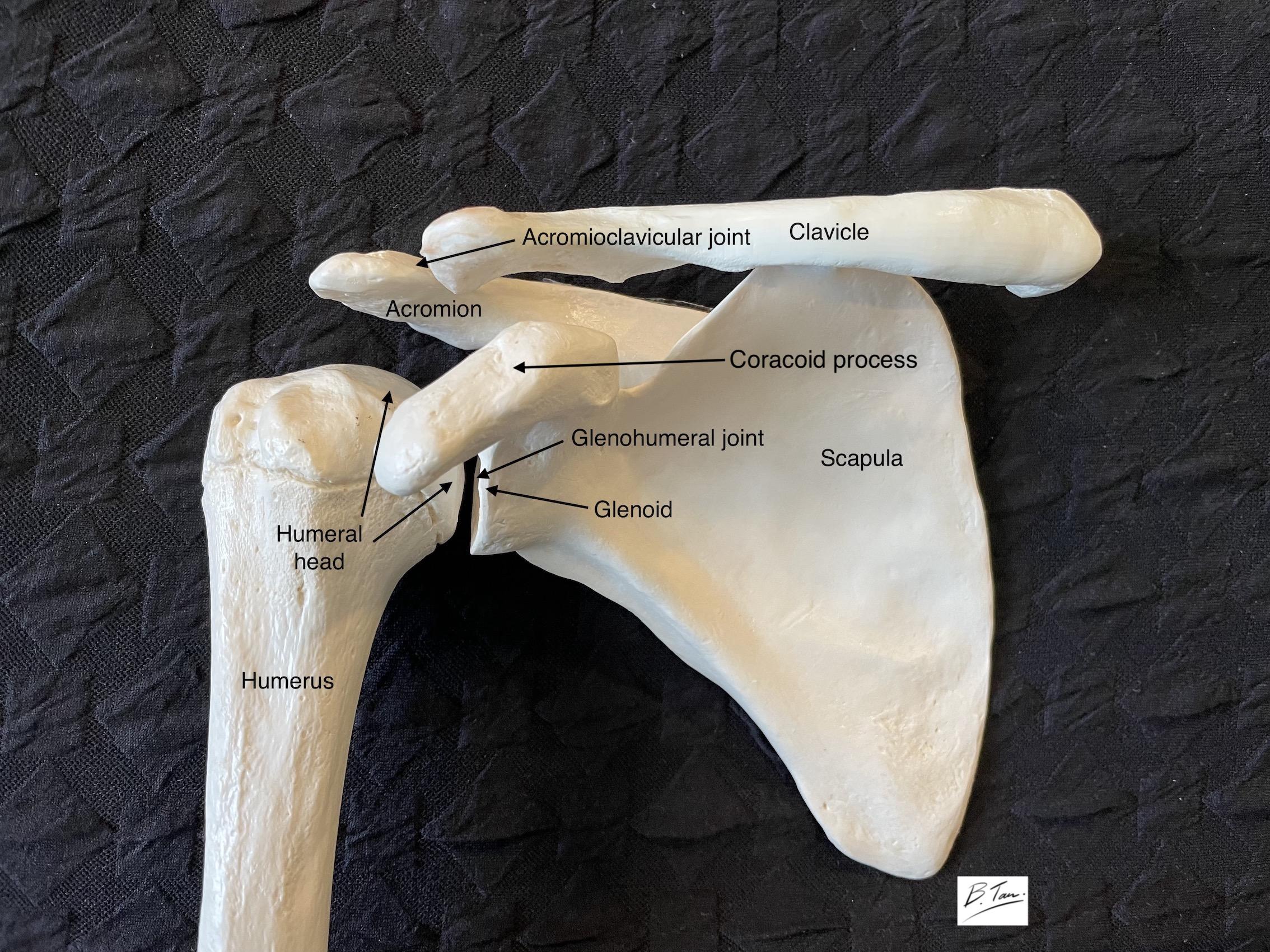 Bones that make up the shoulder