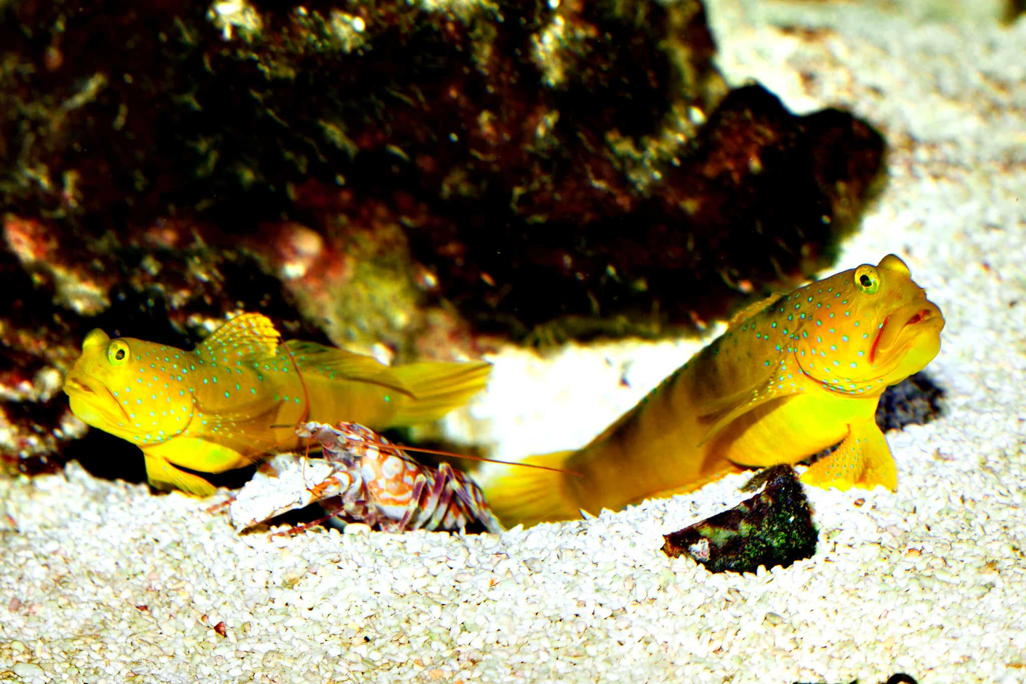 Pistol Shrimp and goby symbiotic relationships