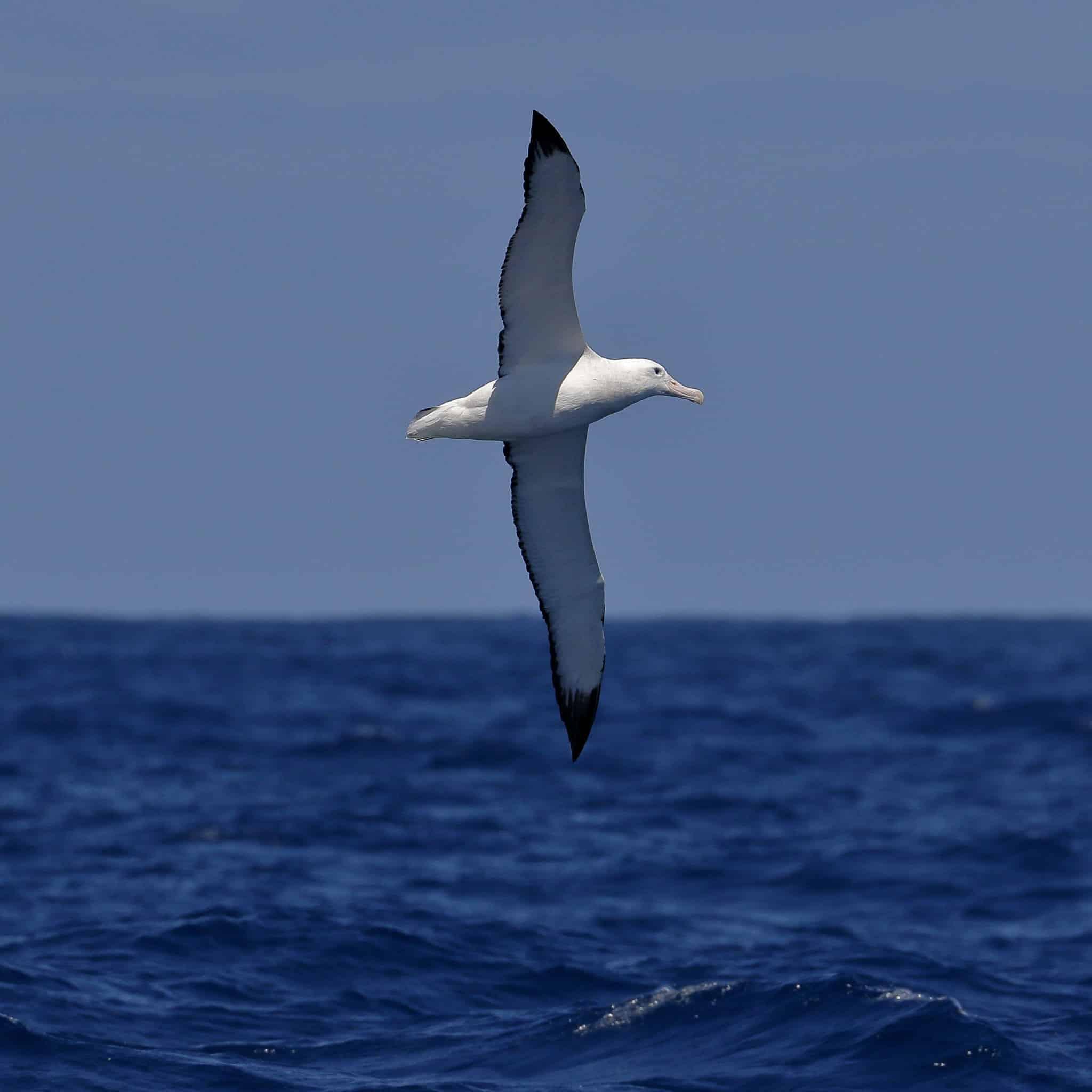 The wandering Albatross flies over the ocean