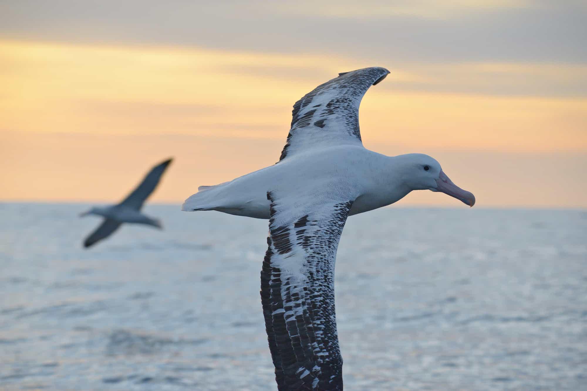 Wandering Albatross flying