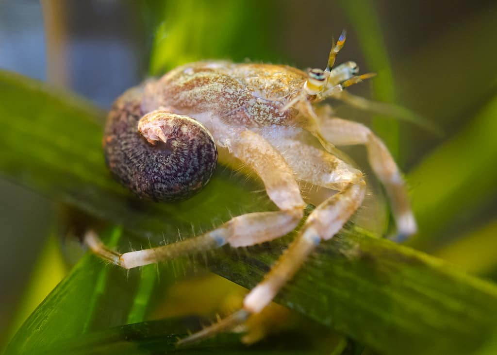 hermit crab without a shell