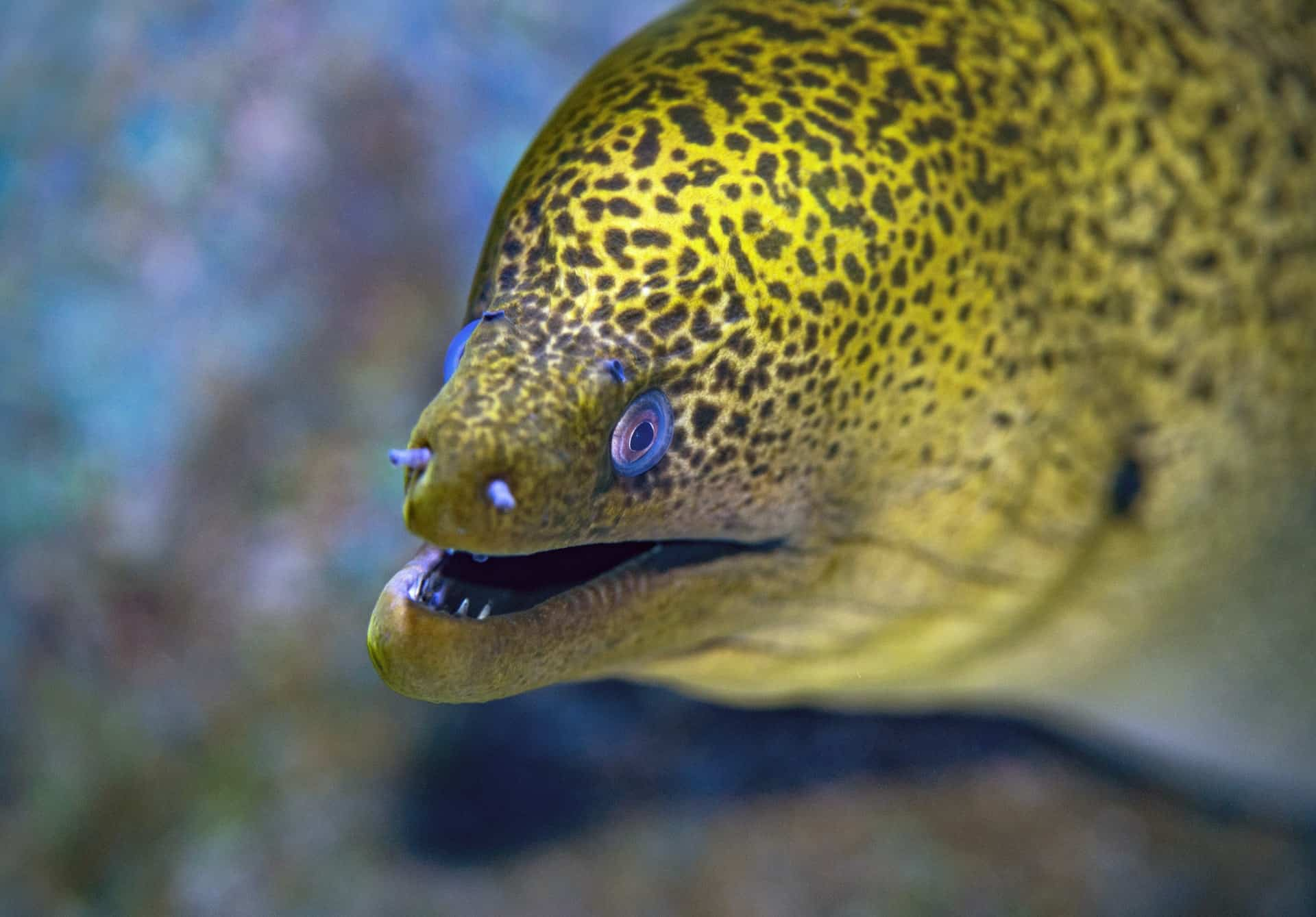 A brightly coloured yellow Moray Eel