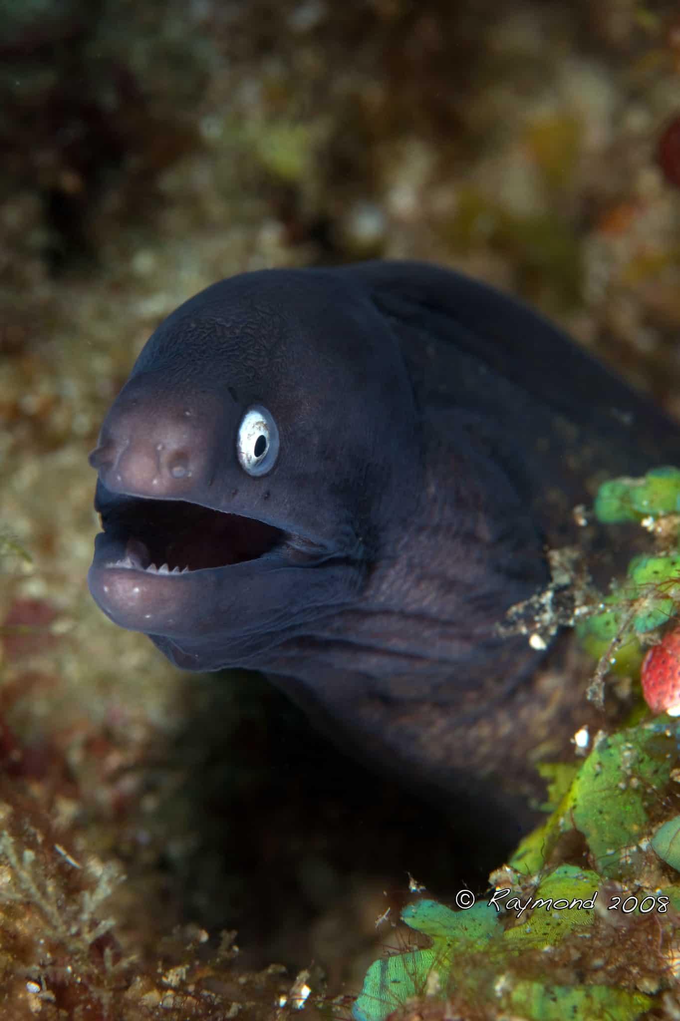 Moray eel smiling