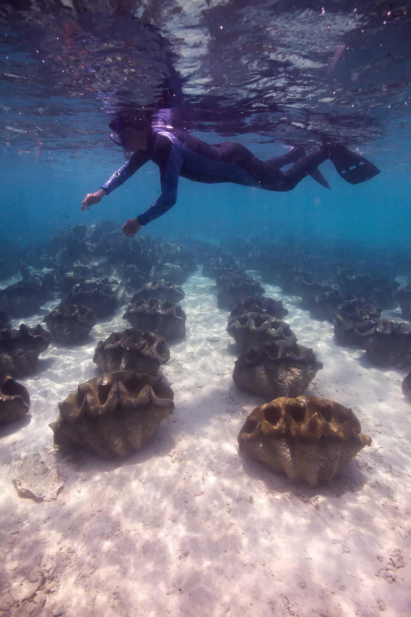 The giant clams breeding program