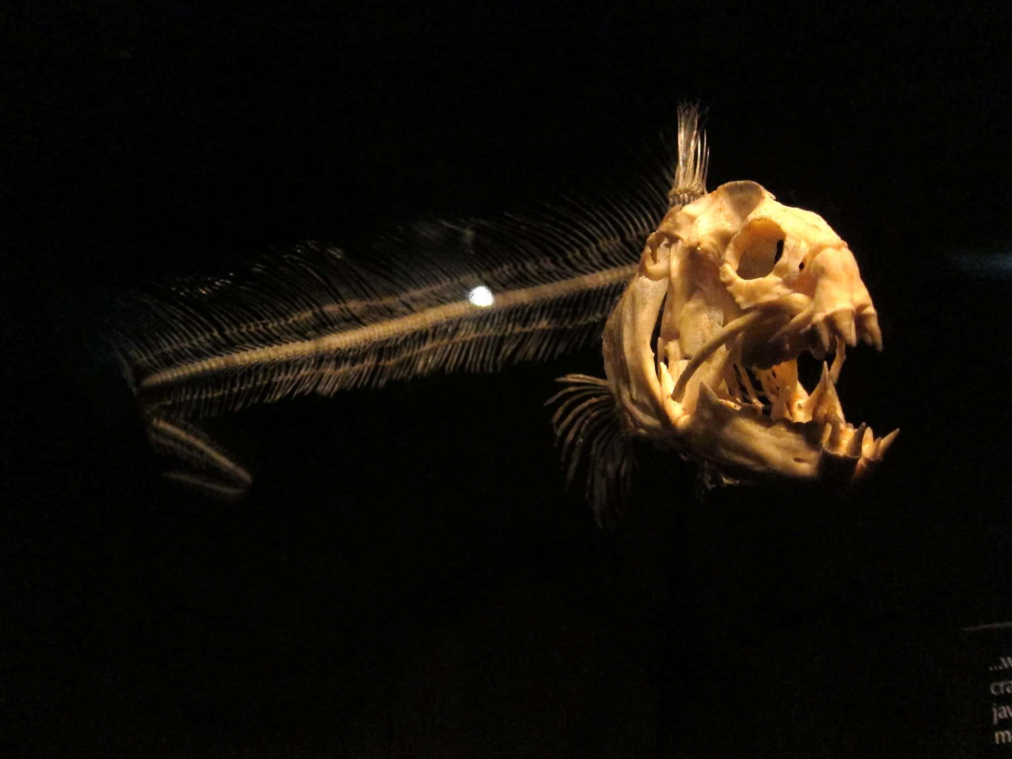 Wolf Eel skeleton