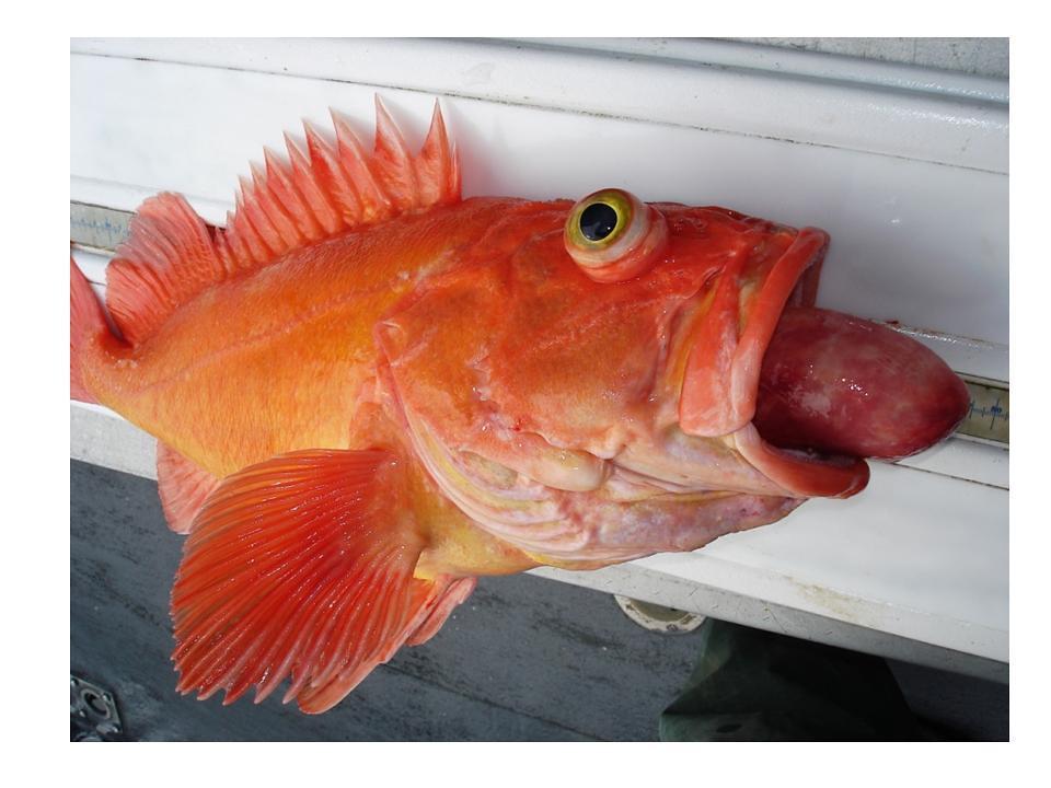 Yelloweye rockfish with barotrauma