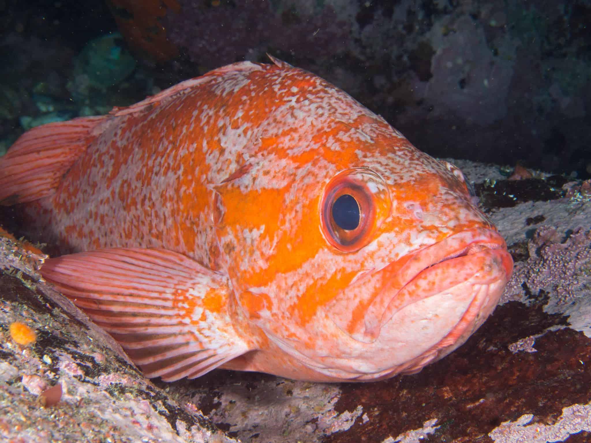 The vermilion rockfish