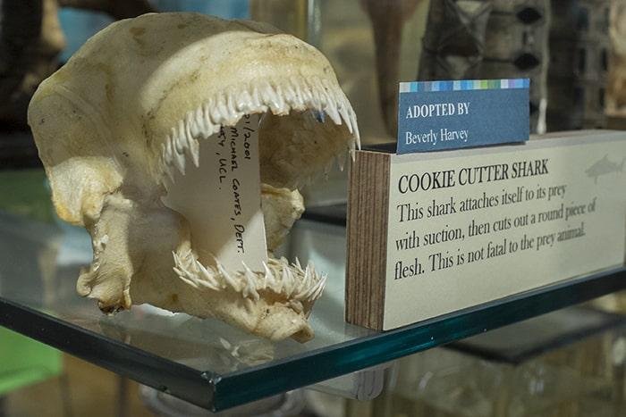 cookie cutter shark sheds its teeth
