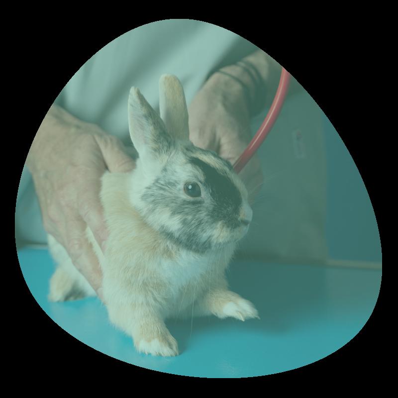 Auscultation d'un lapin dans une clinique vétérinaire