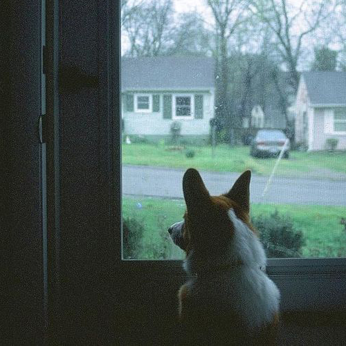 Photo from Instagram of corgi staring out window