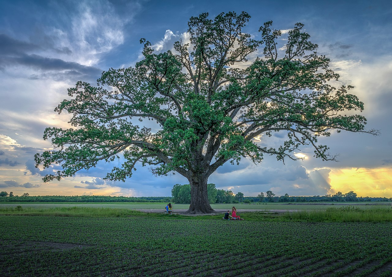 Big Tree with spring picnic