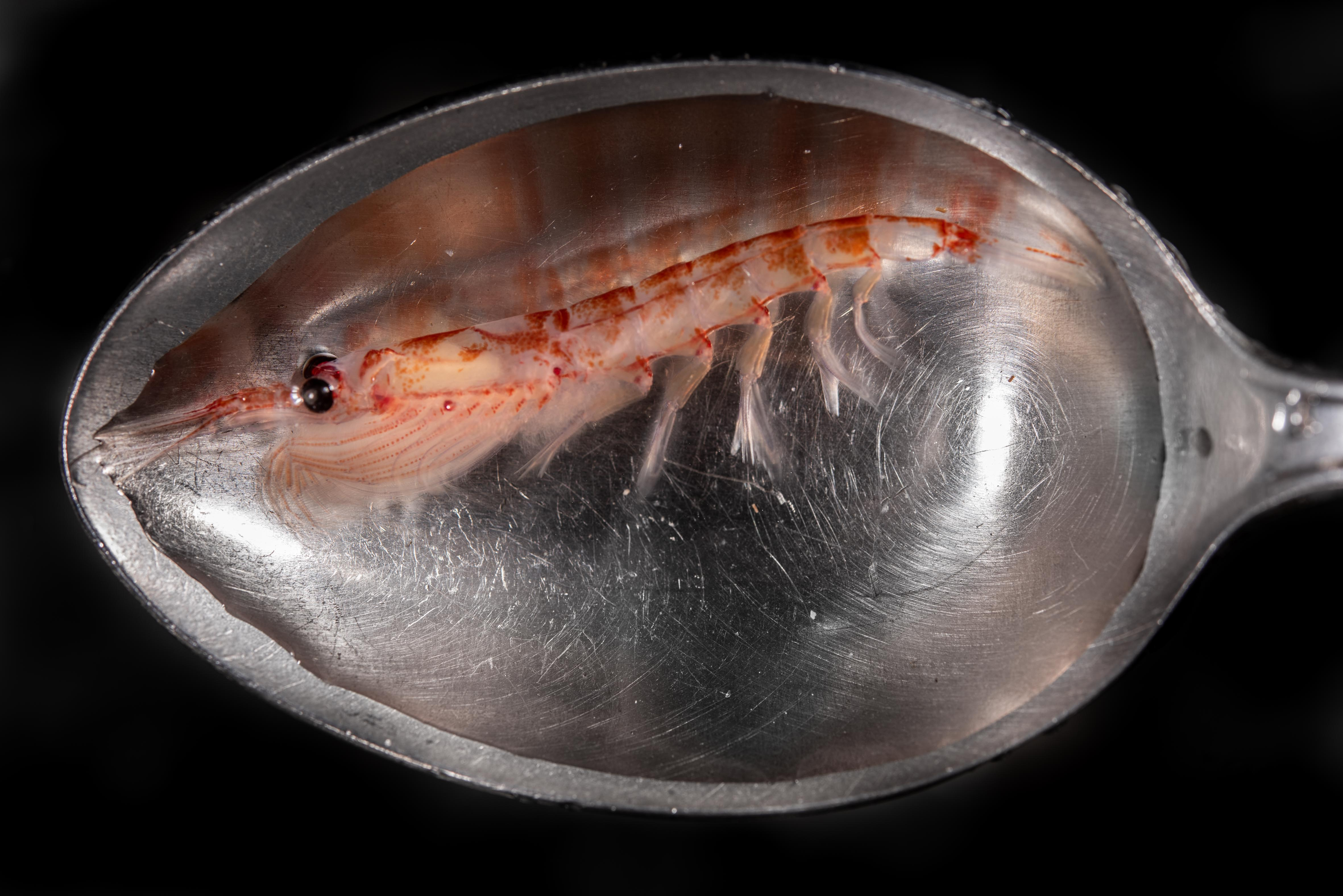Size of Antarctic krill compared with a teaspoon. Photo by Jordi Chias, National Geographic Pristine Seas.