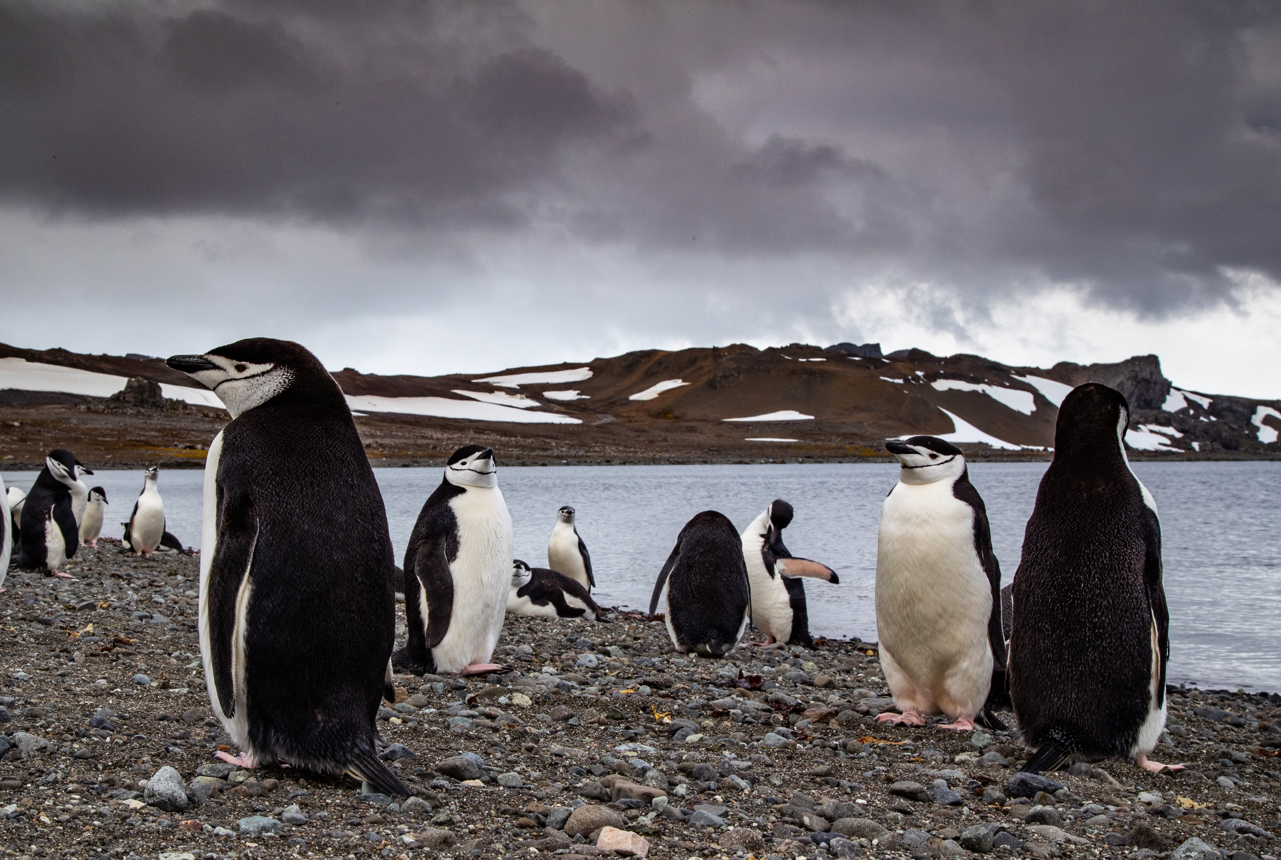 A colony of penguins in the Antarctic Peninsula. Photo by Manu San Felix, National Geographic Pristine Seas.