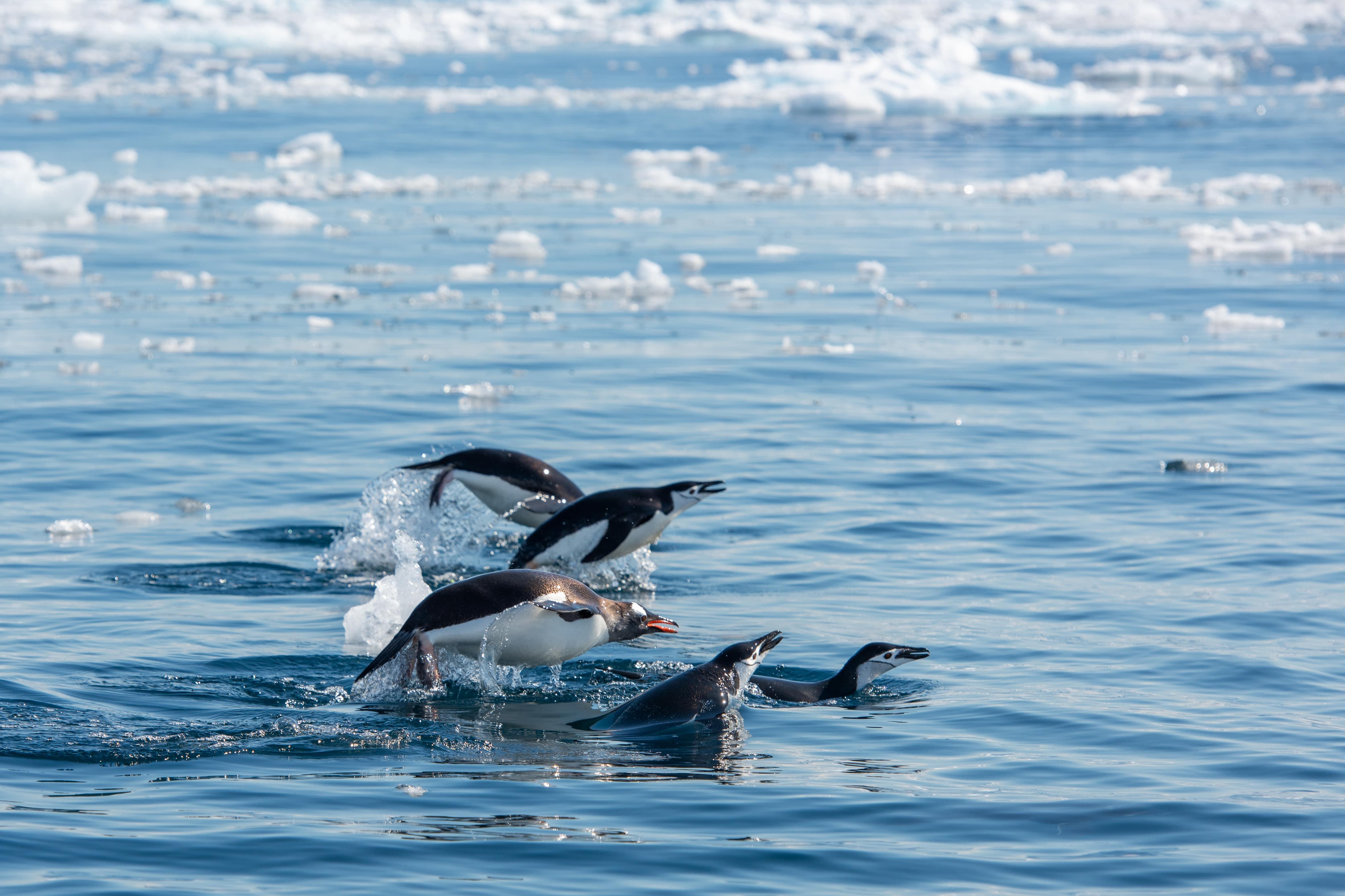 Penguins swimming off the coast of the Antarctic Peninsula. Photo by Jordi Chias, National Geographic Pristine Seas.