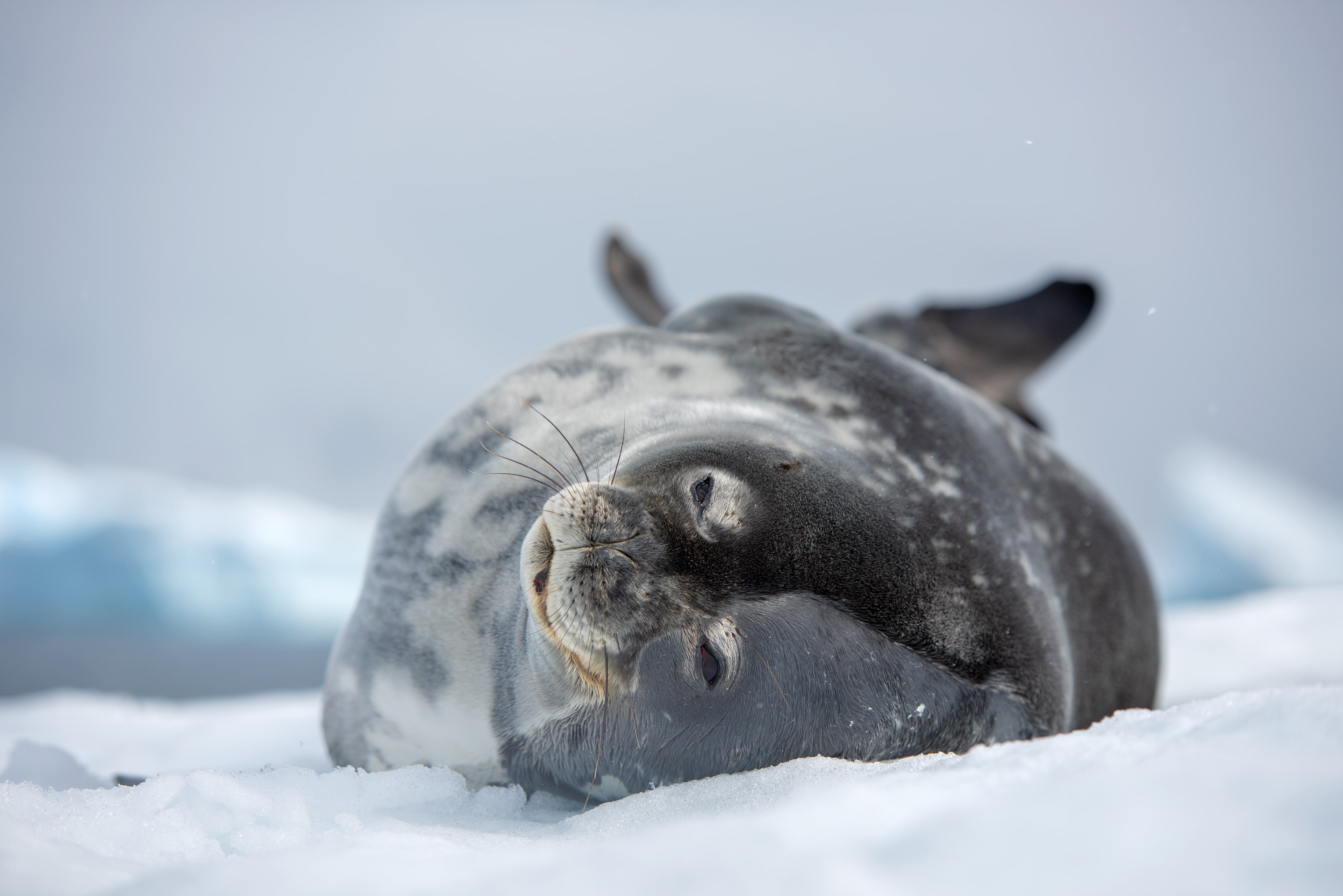 A sea lion lying on snow in the Antarctic Peninsula. Photo by Jordi Chias, National Geographic Pristine Seas.